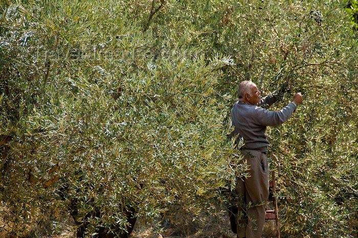palest42: Bet Jala, West Bank, Palestine: man picking olives - photo by J.Pemberton - (c) Travel-Images.com - Stock Photography agency - Image Bank