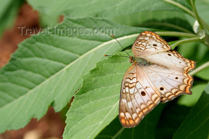 paraguay19: Paraguay - Asunción: butterfly on a leaf / mariposa en una hoja (photo by Andre Marcos Chang) - (c) Travel-Images.com - Stock Photography agency - Image Bank