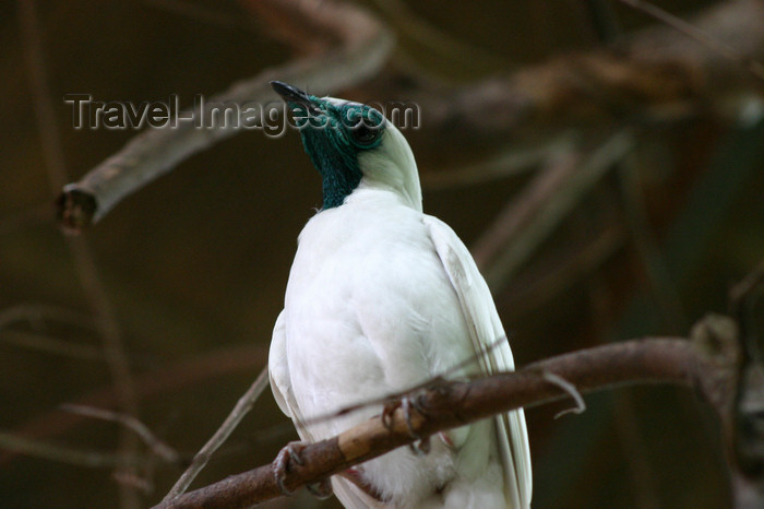 paraguay25: Paraguay - Asunci&#243;n - bare-throated bellbird - Paraguay's national bird - Procnias nudicollis - P&#225;jaro Campana - photo by Amadeo Velazquez - P&#225;jaro Campana. El p&#225;jaro campana est&#225; en peligro cr&#237;tico de extinci&#243;n. En Paraguay, su supervivencia est&#225; seriame - (c) Travel-Images.com - Stock Photography agency - Image Bank