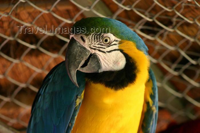 paraguay29: Paraguay - Asunción - yellow and green parrot - close up - photo by Amadeo Velazquez - Inteligentes y parlanchines, los Papagayos pertenecen a la familia Psittacidae, juntamente con los Guacamayos, los Agapornis, Cacatúas, Calopsitas, Roselas, Ring-Necks, - (c) Travel-Images.com - Stock Photography agency - Image Bank