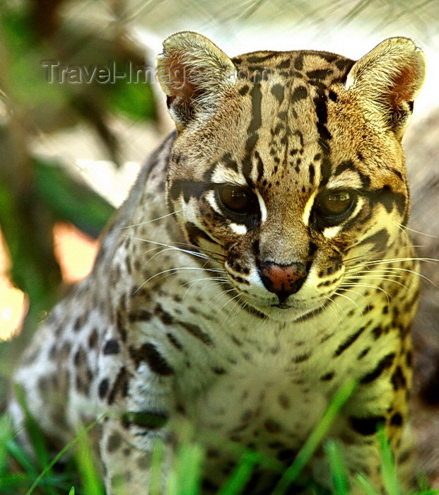 paraguay63: Asunción, Paraguay: Ocelot, Leopardus pardalis - aka Painted Leopard, McKenney's Wildcat, Jaguarete, Cunaguaro, Manigordo - Asunción zoo - photo by A.Chang - (c) Travel-Images.com - Stock Photography agency - Image Bank