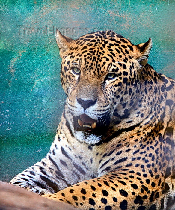 paraguay64: Asunción, Paraguay: Jaguar, Panthera onca - the largest feline in the Western Hemisphere - Asunción zoo - photo by A.Chang - (c) Travel-Images.com - Stock Photography agency - Image Bank