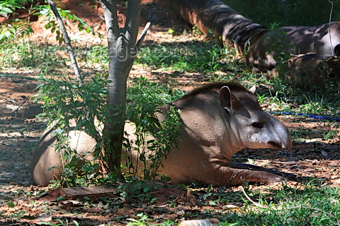 paraguay65: Asunción, Paraguay: South American Tapir in the shade - Tapirus terrestris - Anta - Asunción zoo - photo by A.Chang - (c) Travel-Images.com - Stock Photography agency - Image Bank