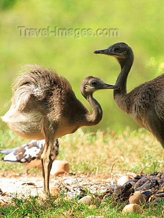 paraguay66: Asunción, Paraguay: young Nandus, Rhea americana - males incubate the eggs and care for the chicks - Asunción zoo - photo by A.Chang - (c) Travel-Images.com - Stock Photography agency - Image Bank