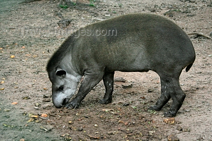 paraguay70: Asunción, Paraguay: South American Tapir looking for food - the largest wild animal in South America - Tapirus terrestris - Anta - Asunción zoo - photo by A.Chang - (c) Travel-Images.com - Stock Photography agency - Image Bank