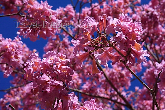 paraguay78: Presidente Hayes department, Paraguay: inflorescences of a Pink Lapacho tree, Tabebuia impetiginosa aka ipê-rosa or piúva, Remanso Castillo - photo by A.Chang - (c) Travel-Images.com - Stock Photography agency - Image Bank