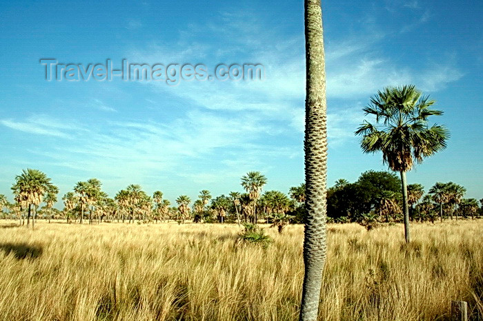 paraguay84: Presidente Hayes department, Paraguay: Gran Chaco - grassland and palm trees - photo by A.Chang - (c) Travel-Images.com - Stock Photography agency - Image Bank