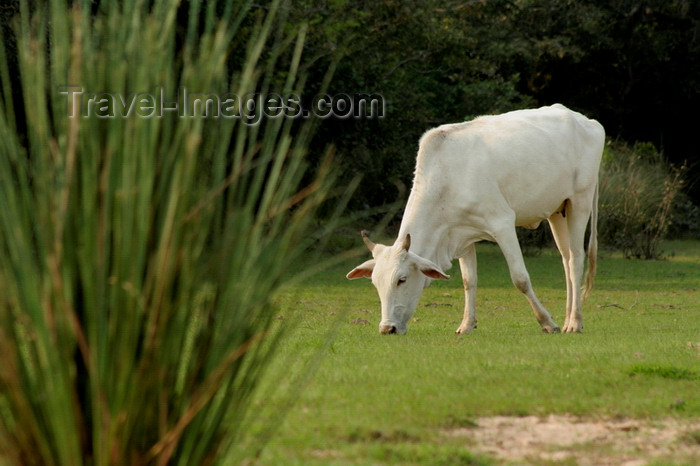 paraguay95: Villa Florida, Misiones department, Paraguay: cow grazing - livestock raising - photo by A.Chang - (c) Travel-Images.com - Stock Photography agency - Image Bank