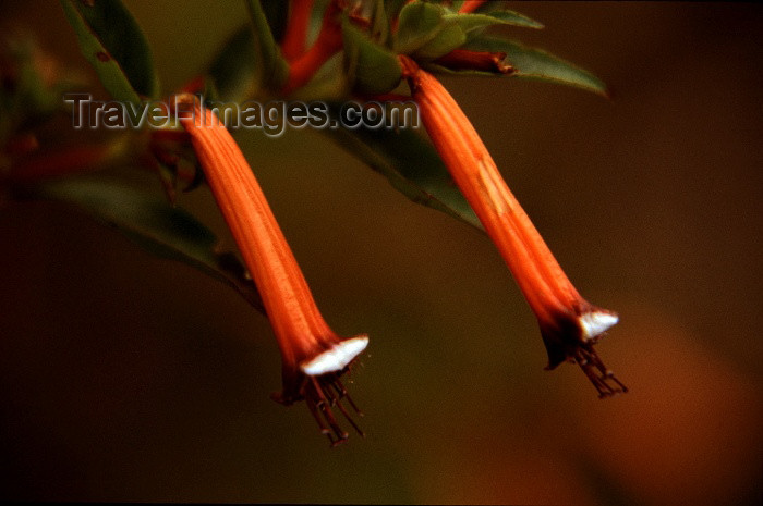 reunion22: Reunion / Reunião - twin trumpet flowers in the forest - Brugmansia - photo by W.Schipper - (c) Travel-Images.com - Stock Photography agency - Image Bank