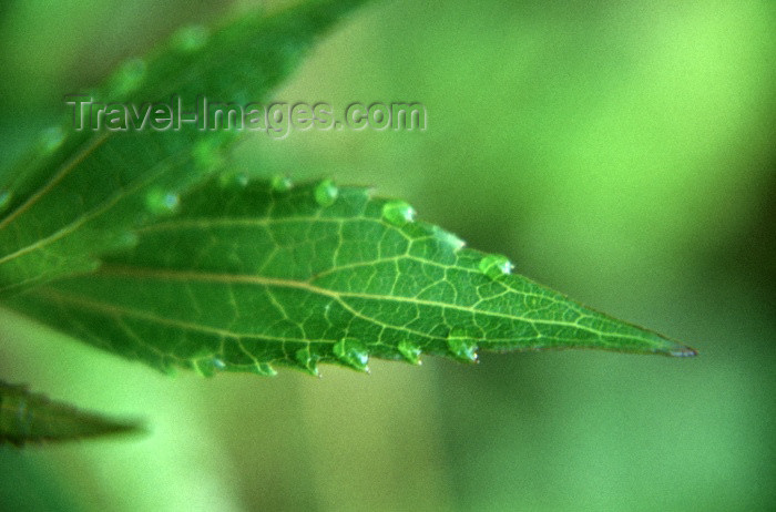 reunion26: Reunion / Reunião - raindrops on a leaf - photo by W.Schipper - (c) Travel-Images.com - Stock Photography agency - Image Bank