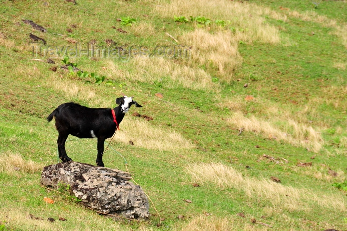 rodrigues12: Anse Tamarin, Rodrigues island, Mauritius: black goat tied to a boulder - photo by M.Torres - (c) Travel-Images.com - Stock Photography agency - Image Bank