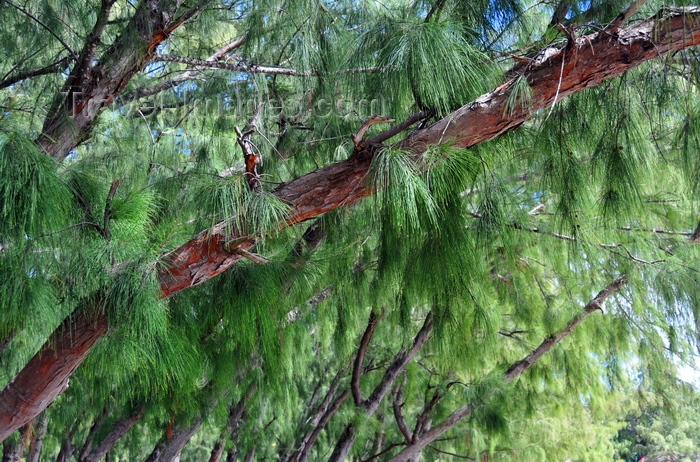 rodrigues37: Pointe Coton, Rodrigues island, Mauritius: Casuarina tree branches - twigs bearing minute scale-leaves - photo by M.Torres - (c) Travel-Images.com - Stock Photography agency - Image Bank