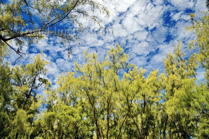 rodrigues38: Pointe Coton, Rodrigues island, Mauritius: Casuarina trees and sky - photo by M.Torres - (c) Travel-Images.com - Stock Photography agency - Image Bank