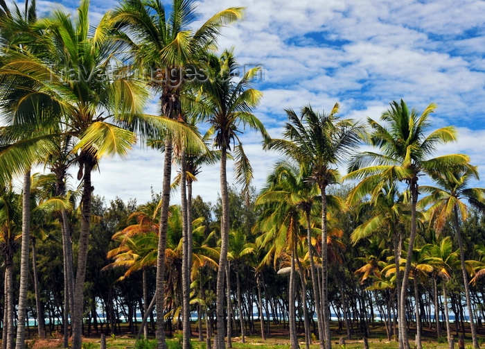 rodrigues41: Pointe Longue,Rodrigues island, Mauritius: coconut grove by the Indian Ocean - photo by M.Torres - (c) Travel-Images.com - Stock Photography agency - Image Bank