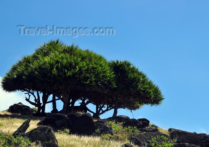 rodrigues45: Montagne Cabris, Rodrigues island, Mauritius: boulders and group of vacoas trees - common screwpine (Pandanus utilis)- photo by M.Torres - (c) Travel-Images.com - Stock Photography agency - Image Bank
