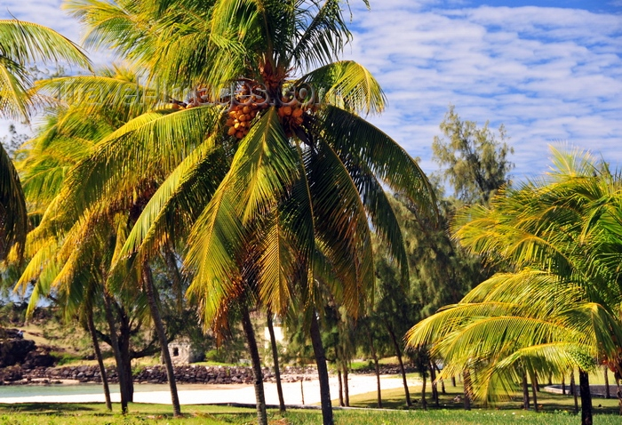 rodrigues46: Montagne Cabris, Rodrigues island, Mauritius: coconut trees - photo by M.Torres - (c) Travel-Images.com - Stock Photography agency - Image Bank