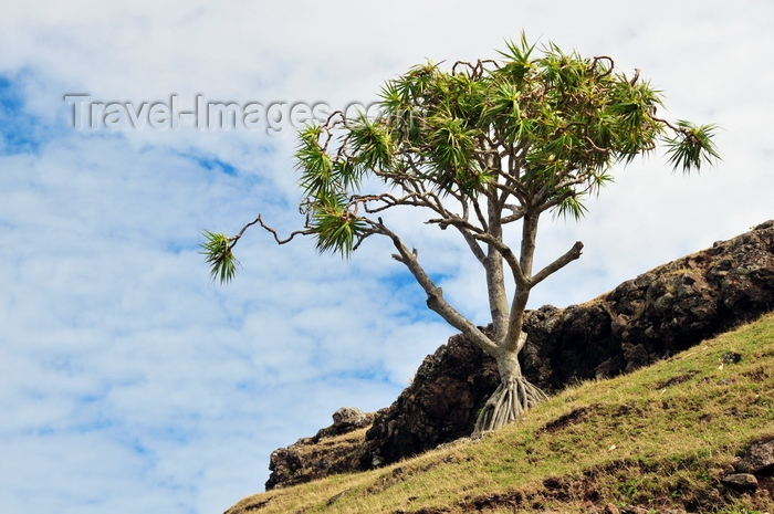 rodrigues6: Anse Tamarin, Rodrigues island, Mauritius: lone vacoas tree on a hill side - common screwpine (Pandanus utilis) - photo by M.Torres - (c) Travel-Images.com - Stock Photography agency - Image Bank