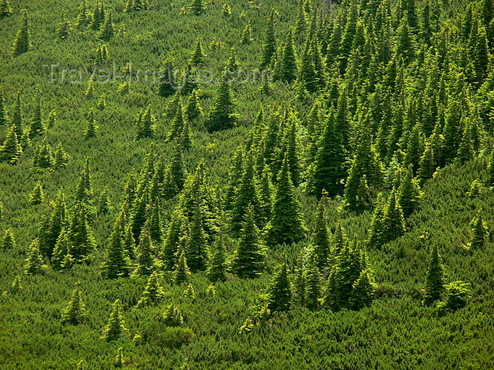 romania132: Ceahlau National Park, Neamt county, Moldavia, Romania: incipient forest - photo by J.Kaman - (c) Travel-Images.com - Stock Photography agency - Image Bank