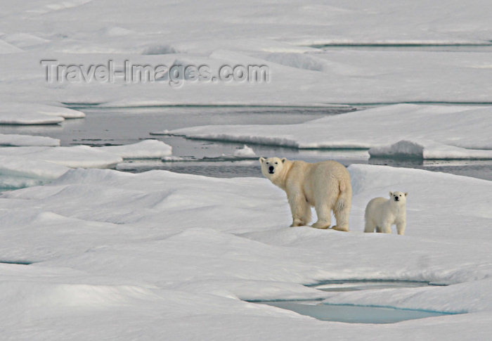 russia430: Russia - Bering Strait (Chukotka AOk):  Polar Bear and cub on the ice - Ursus maritimus - Arctic ocean - Chukchi sea (photo by R.Eime) - (c) Travel-Images.com - Stock Photography agency - Image Bank