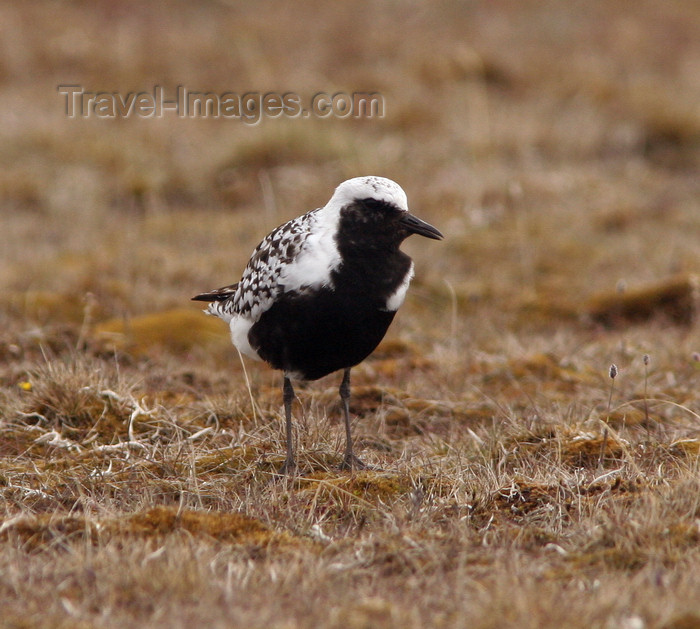 russia461: Wrangel Island / ostrov Vrangelya, Chukotka AOk, Russia: Black Breasted Plover on the ground - Charadrius squatarola - migrant bird, nests in the Arctic - photo by R.Eime - (c) Travel-Images.com - Stock Photography agency - Image Bank