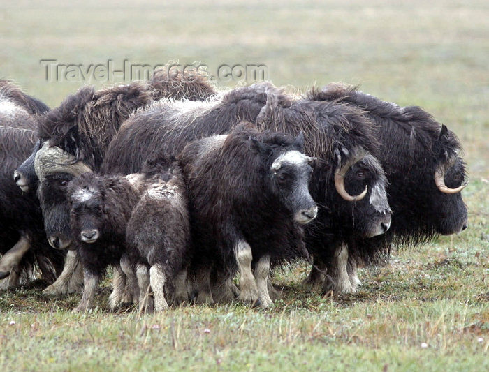 russia738: Russia - Wrangel Island / ostrov Vrangelya (Chukotka AOk): Musk Ox - Ovibos moschatus - arctic mammal (photo by R.Eime) - (c) Travel-Images.com - Stock Photography agency - Image Bank