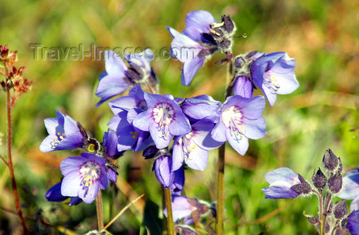 russia751: Wrangel Island / ostrov Vrangelya, Chukotka AOk, Russia: wild flowers - photo by R.Eime - (c) Travel-Images.com - Stock Photography agency - Image Bank