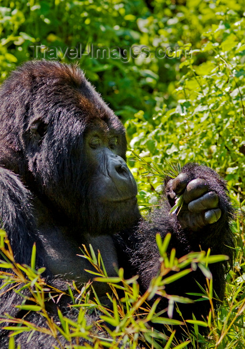 rwanda13: Volcanoes National Park, Northern Province, Rwanda: Mountain Gorilla - Gorilla beringei beringei - Gorundha, of the Sabyinyo Group, is the largest alpha male Silver Back in the park - photo by C.Lovell - (c) Travel-Images.com - Stock Photography agency - Image Bank