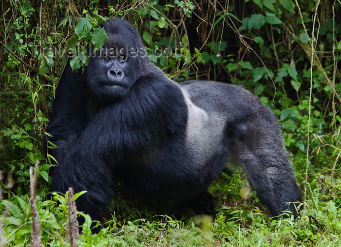 rwanda15: Volcanoes National Park, Northern Province, Rwanda: Mountain Gorilla - Gorilla beringei beringei - Gorundha, of the Sabyinyo Group, displaying his Silver - photo by C.Lovell - (c) Travel-Images.com - Stock Photography agency - Image Bank