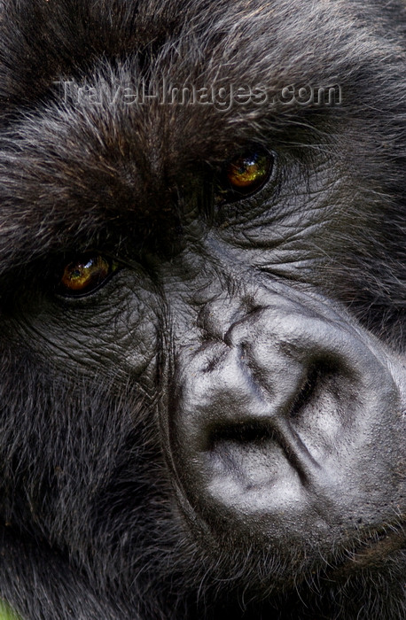 rwanda16: Volcanoes National Park, Northern Province, Rwanda: face of a male Mountain Gorilla of the Kwitonda Group - Gorilla beringei beringei - on the endangered species list - photo by C.Lovell - (c) Travel-Images.com - Stock Photography agency - Image Bank