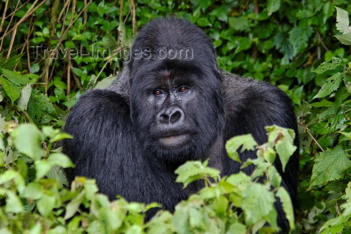 rwanda17: Volcanoes National Park, Northern Province, Rwanda: Mountain Gorilla - Gorilla beringei beringei - Gorundha, of the Sabyinyo Group, poses for the camera - photo by C.Lovell - (c) Travel-Images.com - Stock Photography agency - Image Bank