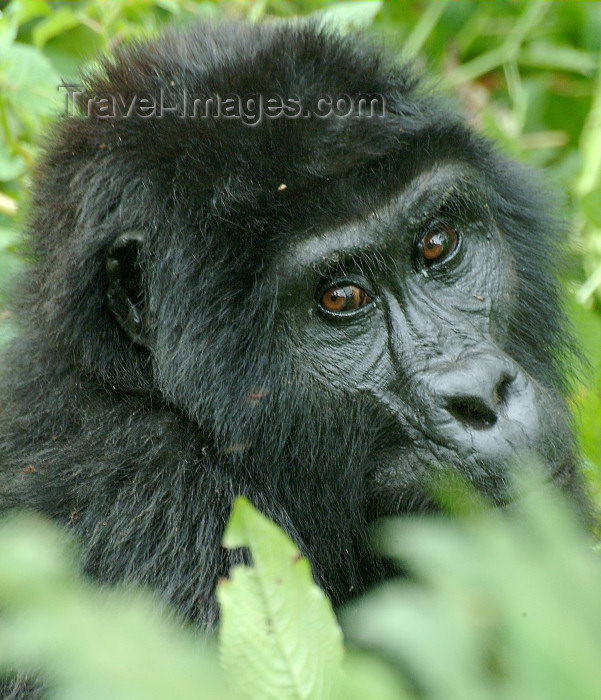 rwanda2: Rwanda - Parc National des Volcans / PNV / Volcanoes' national park -  Virunga Volcanoes:: mountain gorilla - location for Dian Fossey and Gorillas in the Mist - photo by J.Banks - (c) Travel-Images.com - Stock Photography agency - Image Bank
