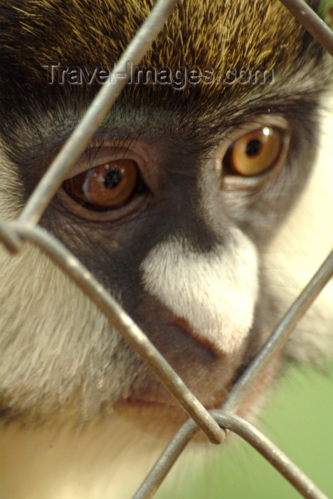 rwanda4: Africa - Rwanda: caged Golden Monkey - cercopithecus mitis kandti - photo by J.Banks - (c) Travel-Images.com - Stock Photography agency - Image Bank