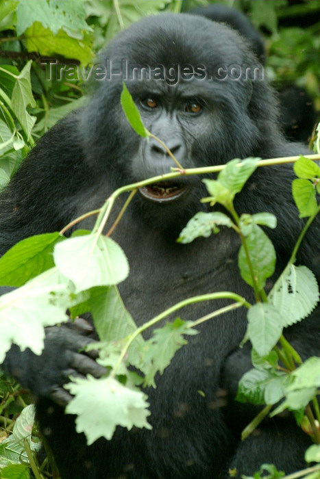 rwanda5: Rwanda - Parc National des Volcans / Volcanos' national park - Virunga Volcanoes: angry mountain gorilla - photo by J.Banks - (c) Travel-Images.com - Stock Photography agency - Image Bank