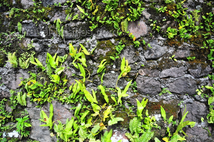 saba39: Windwardside, Saba: moss and ferns on a stone wall - photo by M.Torres - (c) Travel-Images.com - Stock Photography agency - Image Bank