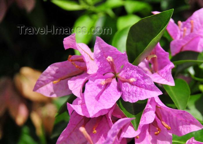 saba74: Windwardside, Saba: bougainvillea flowers - photo by M.Torres - (c) Travel-Images.com - Stock Photography agency - Image Bank