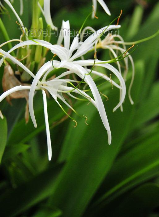 saba75: Windwardside, Saba: spider lily - Caribbean white lily - Hymenocallis latifolia - photo by M.Torres - (c) Travel-Images.com - Stock Photography agency - Image Bank