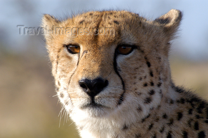 South Africa - Cheetah close-up, Singita - African safari - wildlife (photo by B.Cain)