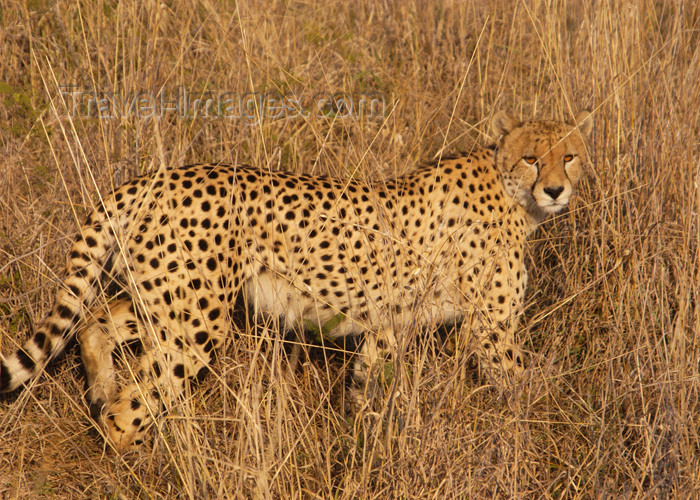 safrica133: South Africa - Cheetah walking in tall grass - the fastest land animal, Singita - photo by B.Cain - (c) Travel-Images.com - Stock Photography agency - Image Bank