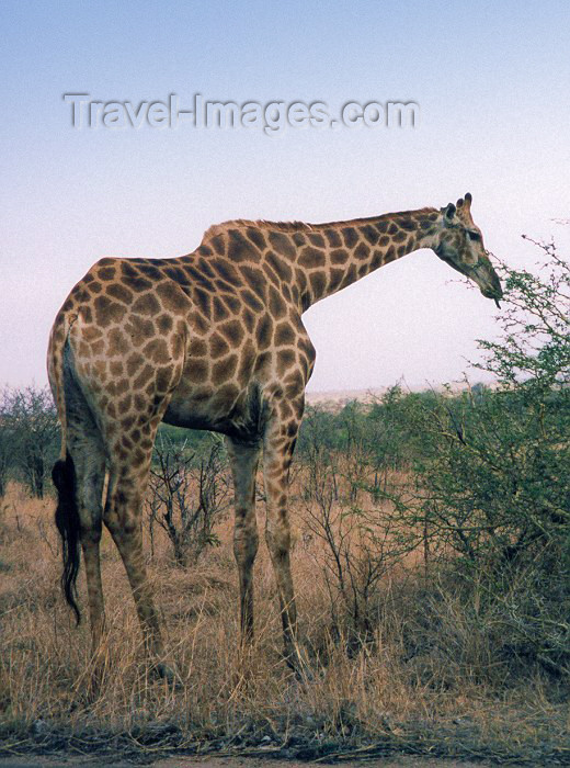 safrica14: South Africa - Kruger Park (Eastern Transvaal): giraffe - Girafa camelopardalis - photo by M.Torres - (c) Travel-Images.com - Stock Photography agency - Image Bank