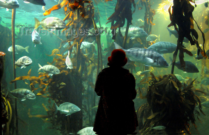 safrica147: South Africa - Kelp tank and person at Two Oceans Aquarium, Cape Town - photo by B.Cain - (c) Travel-Images.com - Stock Photography agency - Image Bank
