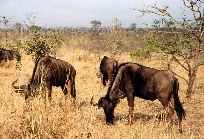 safrica15: South Africa - Kruger Park (Eastern Transvaal) - South African wildlife: gnus aka Blue Wildbeests - Bovidae, Connochaetes - photo by M.Torres - (c) Travel-Images.com - Stock Photography agency - Image Bank