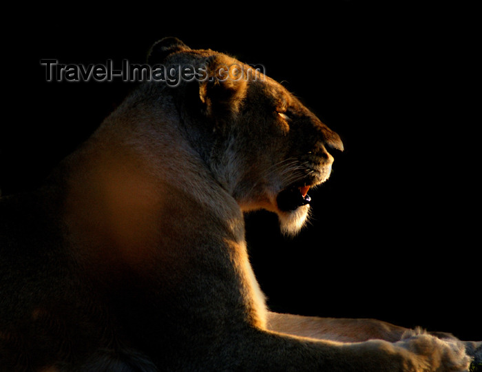 safrica153: South Africa - South Africa Lioness at dusk, Singita - photo by B.Cain - (c) Travel-Images.com - Stock Photography agency - Image Bank
