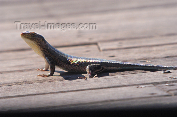 safrica155: South Africa - South Africa Lizard on deck of guest suite, Singita Game Reserve - photo by B.Cain - (c) Travel-Images.com - Stock Photography agency - Image Bank