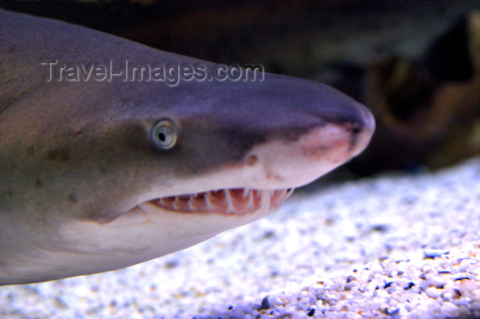 safrica173: South Africa - Shark close-up at Two Oceans Aquarium, Cape Town - photo by B.Cain - (c) Travel-Images.com - Stock Photography agency - Image Bank