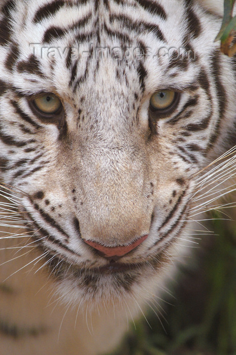 safrica193: South Africa - White Tiger Close-up, big cats rehab ctr, Oudtshoorn - photo by B.Cain - (c) Travel-Images.com - Stock Photography agency - Image Bank