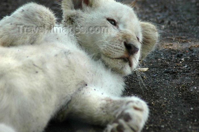 safrica304: South Africa - Pilanesberg National Park: white lion from Timbavati - playful cub - photo by K.Osborn - (c) Travel-Images.com - Stock Photography agency - Image Bank