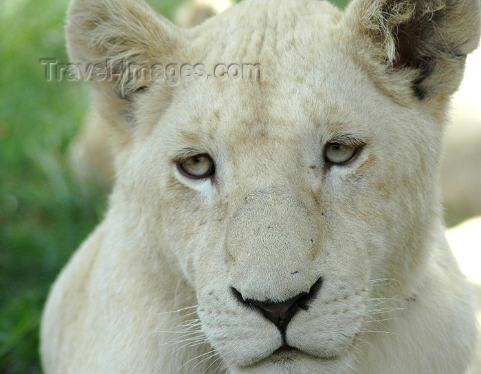 safrica309: South Africa - Pilanesberg National Park: young white lioness - albino - albino - leon blanco - photo by K.Osborn - (c) Travel-Images.com - Stock Photography agency - Image Bank
