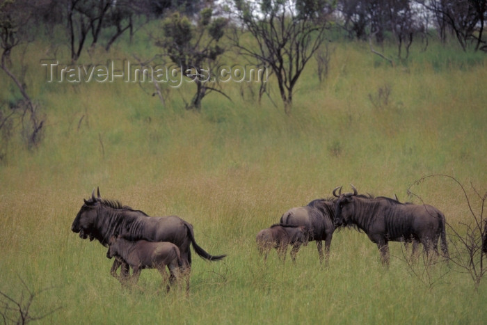 safrica50: South Africa - Pilansberg National Park: wildebeest / Gnus - photo by R.Eime - (c) Travel-Images.com - Stock Photography agency - Image Bank