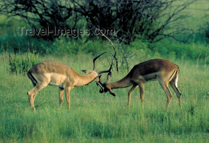 safrica54: South Africa - Pilanesberg National Park: two antelopes joust playfully - photo by R.Eime - (c) Travel-Images.com - Stock Photography agency - Image Bank