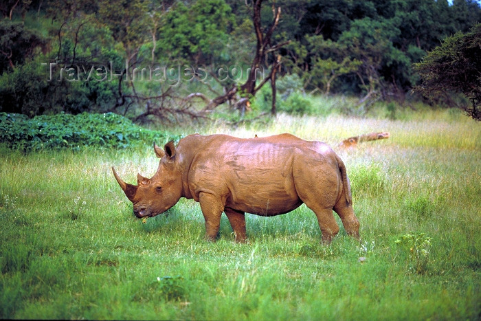 safrica64: South Africa - Pilanesberg National Park: a magnificent White Rhino - photo by R.Eime - (c) Travel-Images.com - Stock Photography agency - Image Bank